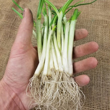 Onion Starts - Texas Early White - Short Day - Heirloom