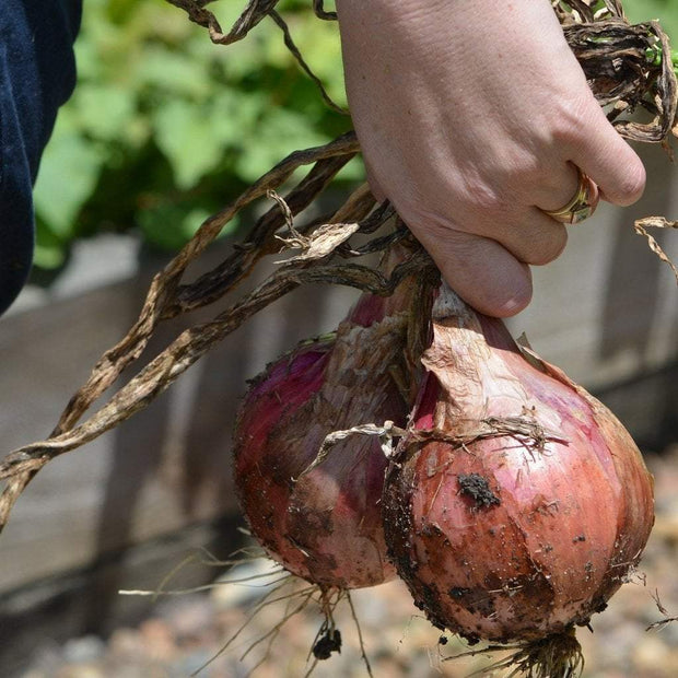 Onion - Red Wethersfield - Sow True Seed