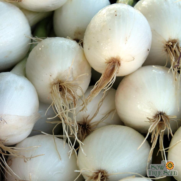 Onion seeds- White Sweet Spanish: Large sweet white onion, pick young for green scallions or harvest full size for fresh eating.