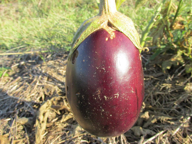 Eggplant - Puerto Rican Beauty - Sow True Seed
