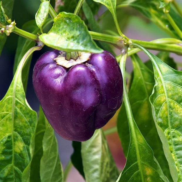 Sweet Pepper seeds - Purple Beauty : Purple bell peppers grow on compact productive plants.