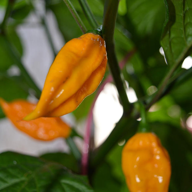 Fatali Organic Hot Pepper