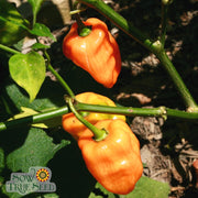 Hot Pepper seeds- Habanero Orange : Very Hot 3-4' plants that produce light-green peppers which ripen to brilliant orange-red color.