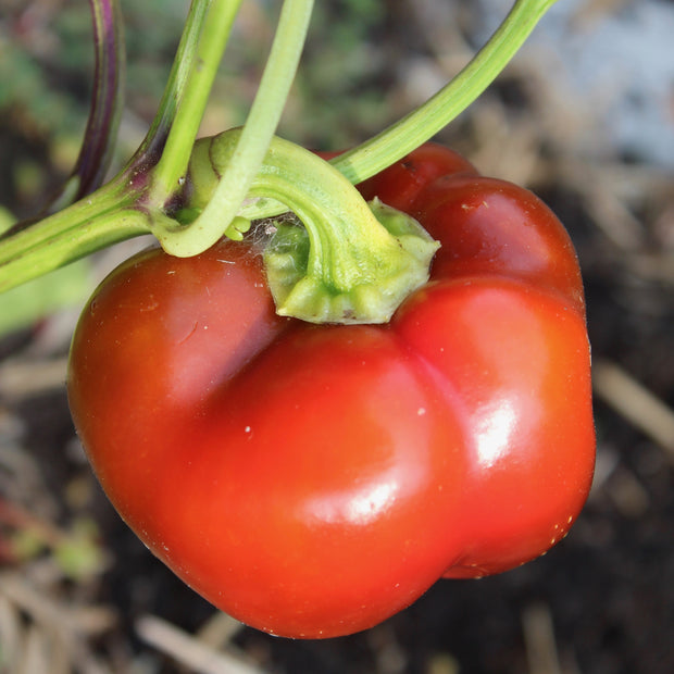 Sweet Pepper - Ashe County Pimento