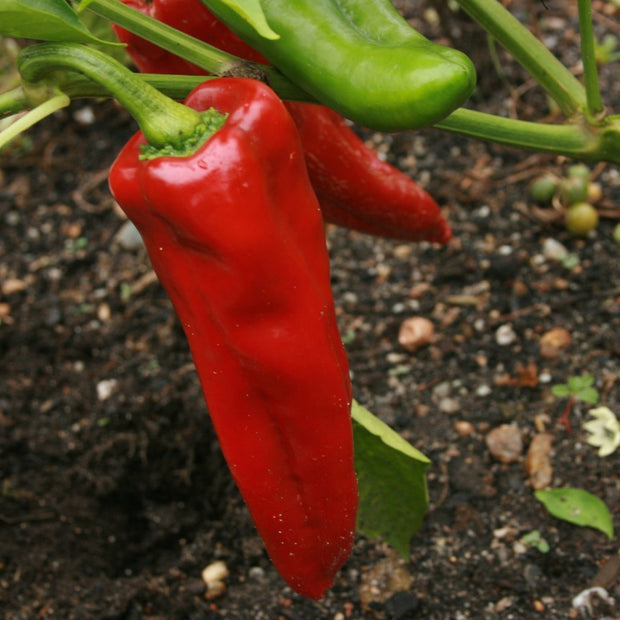 Sweet Pepper - Marconi Red