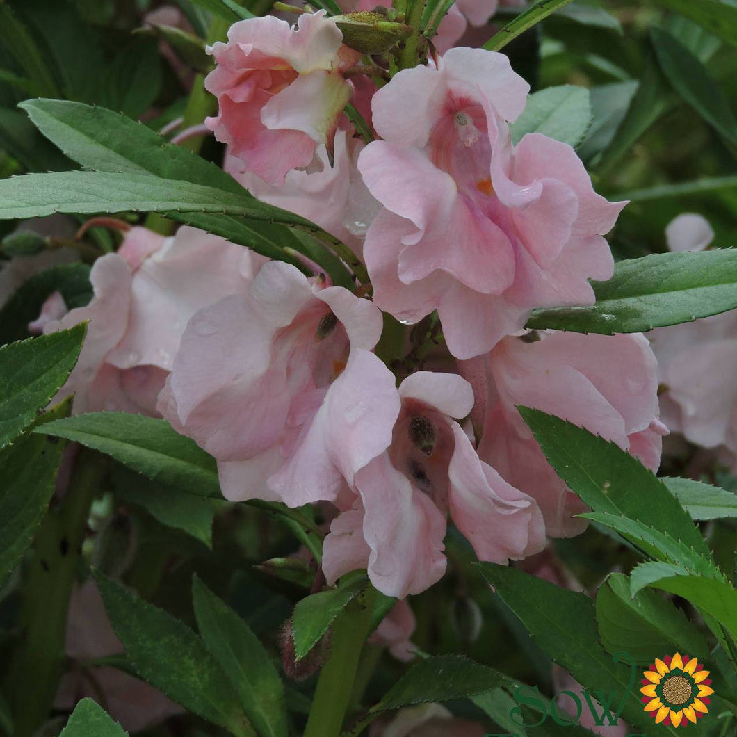 Impatiens seeds - Pink Balsam : Pink blossoms resemble old-fashioned roses.