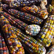 Carl's Glass Gem Popcorn seed, Native American corn varieties, jewel-toned corn