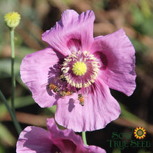 Poppy seed- Hungarian Breadseed, ORGANIC: Attractive large seed pods.