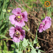 Poppy - Hungarian Breadseed, ORGANIC - Sow True Seed