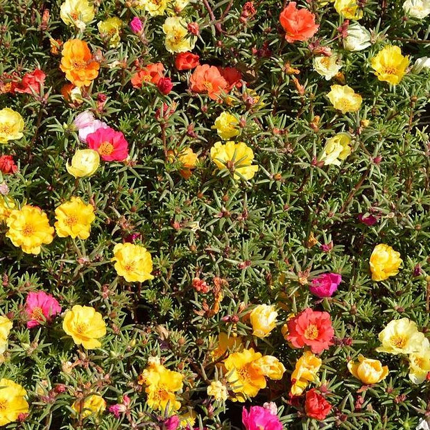 Portulaca seed - Moss Rose Double Mix : Succulent leaves and stems with small double cupped flowers.