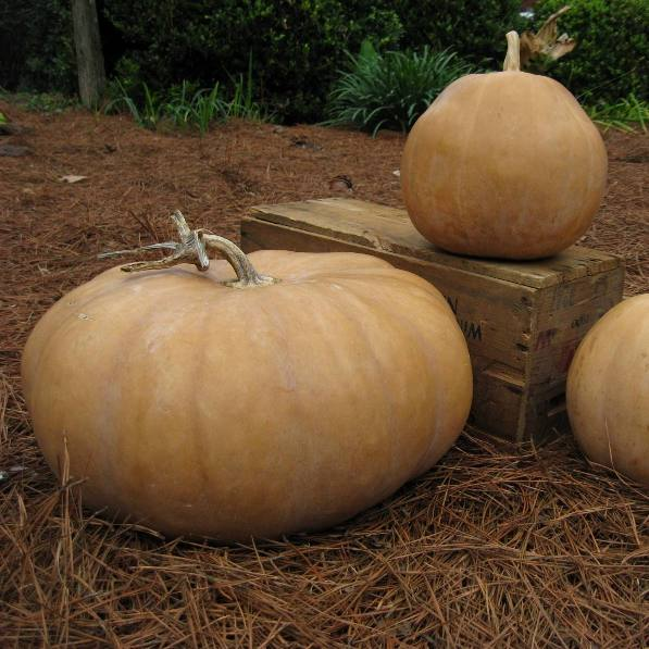 Pumpkin seeds - Wildwood: Heirloom pale skin with bright orange flesh with variation in fruit shape.