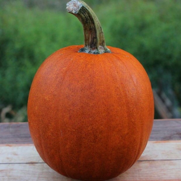 Pumpkin - Small Sugar - Sow True Seed