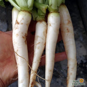Radish seeds- Daikon, Japanese Minowase: Heirloom giant white roots with mild flavor. Deep tap roots will improve soil quality.