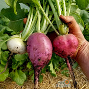 Organic Radish seeds- Easter Egg Mix: Petite colorful radishes.