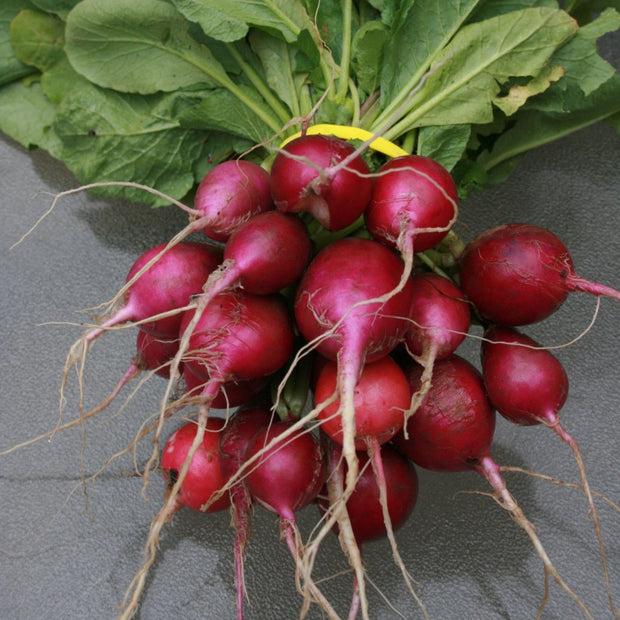 Purple Plum Radish - Sow True Seed - Organic