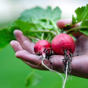 Organic Radish seeds- Sparkler: Red-skinned roots with white flesh, good yields.
