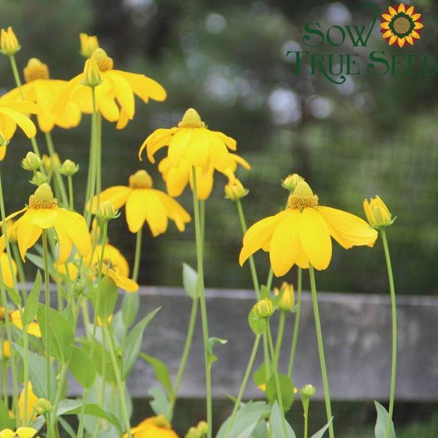 Rudbeckia seed - Sochan : Blooms loved by pollinators.