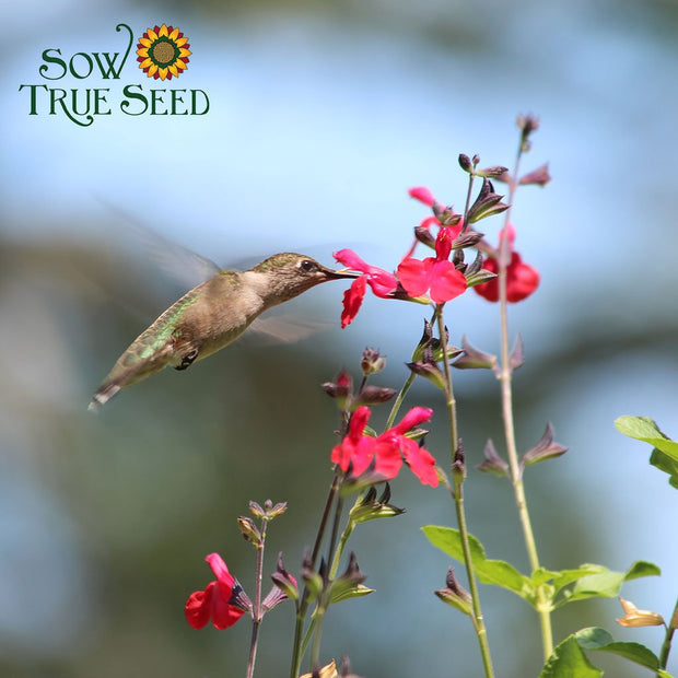 Salvia seed - Scarlet Sage : Guaranteed dramatic red blooms.