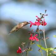 Scarlet Sage Salvia Flowers with Hummingbird