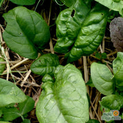 "Spinach seeds - America : Slow bolt with heat tolerance produces richly savoyed leaves on 8"" high plants."