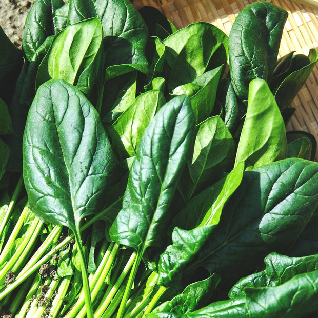 Spinach - America - Sow True Seed