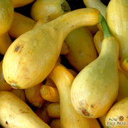 Summer Squash - Early Summer Crookneck, ORGANIC - Sow True Seed