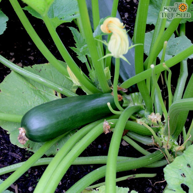 Summer Squash - Black Beauty Zucchini, ORGANIC - Sow True Seed