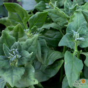 Heirloom New Zealand Summer Spinach seeds, heat loving greens, tetragon