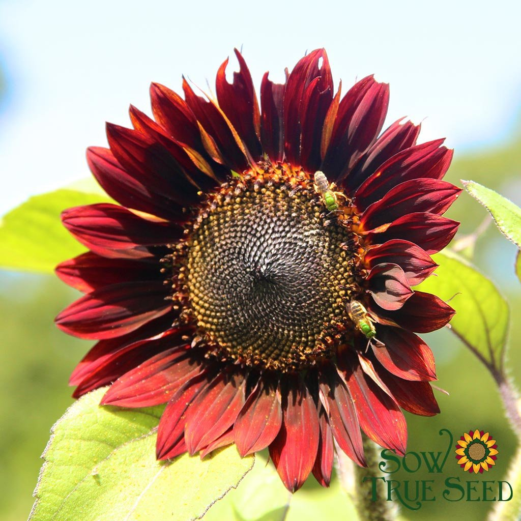 Organic Sunflower seed - Evening Sun : Long lasting 4-6
