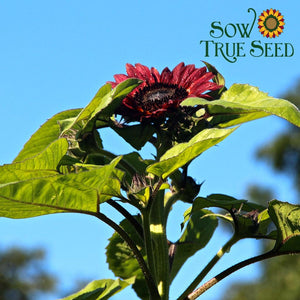 "Organic Sunflower seed - Evening Sun : Long lasting 4-6"" red blooms."