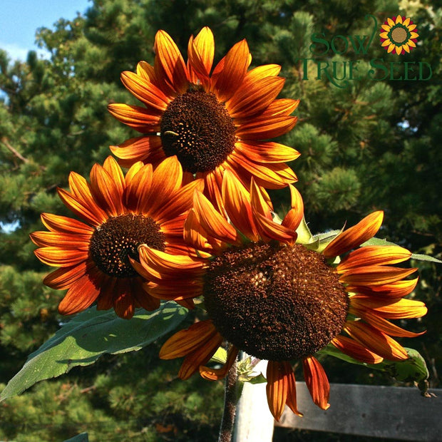 "Sunflower seed - Velvet Queen : Rust-colored 4-6"" blooms."