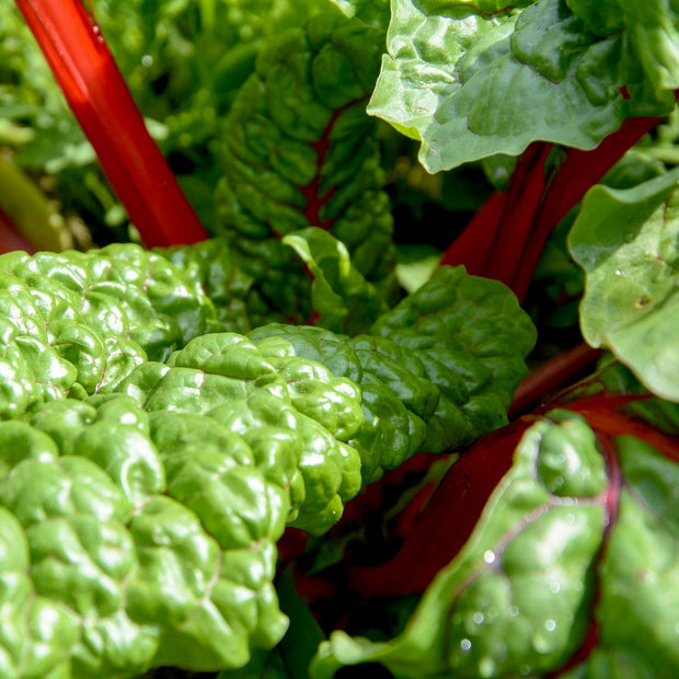 Swiss Chard - Ruby Red, ORGANIC - Sow True Seed