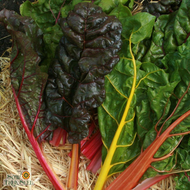 Swiss Chard - Rainbow Blend - Sow True Seed