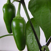 Hot Pepper seeds - Jalapeno, Tam : Mild heat with jalapeno flavor, high yields for pickling, canning, and freezing.