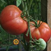 Organic Tomato seeds - Pink Brandywine : Good yields of 1-2 lb. heirloom beefsteak tomatoes.