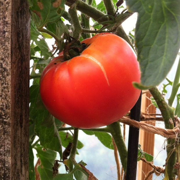 Slicing Tomato - Hillbilly, ORGANIC - Sow True Seed