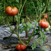 Slicing Tomato - Mortgage Lifter - Sow True Seed