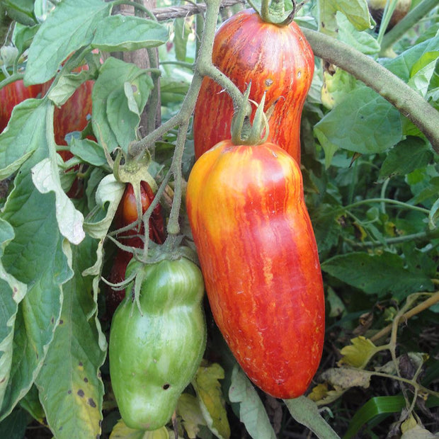 Paste Tomato - Speckled Roman, ORGANIC - Sow True Seed