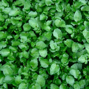Cress - Watercress