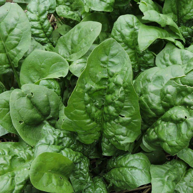 Spinach - Winter Giant - Sow True Seed
