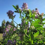 Cover Crop - Alfalfa, ORGANIC - Sow True Seed