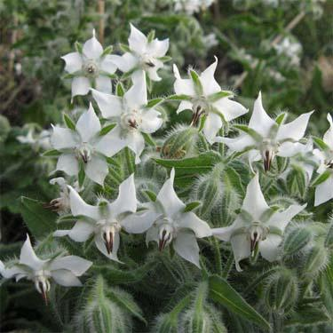 Herb seed - White Borage : Rare seed grows a 2-3 ft. tall bush.