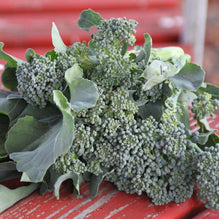 NON-GMO Sprouting Calabrese Broccoli Seeds Broccoli 400 seeds per package.