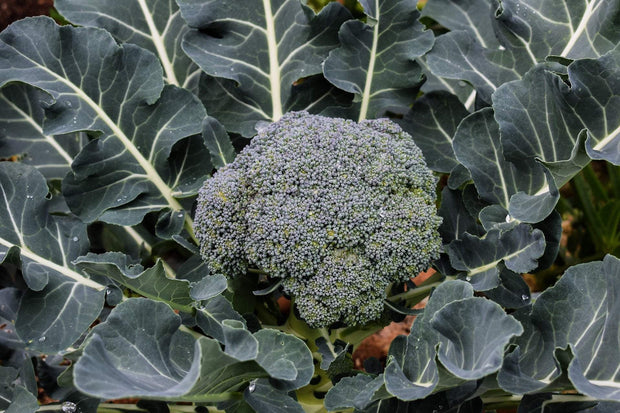 Broccoli - Waltham 29 - Sow True Seed