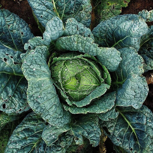 Cabbage - Perfection Savoy - Sow True Seed