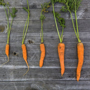 Carrot - Little Finger, ORGANIC - Sow True Seed