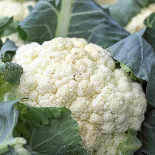 Cauliflower - Snowball Self-Blanching, ORGANIC - Sow True Seed