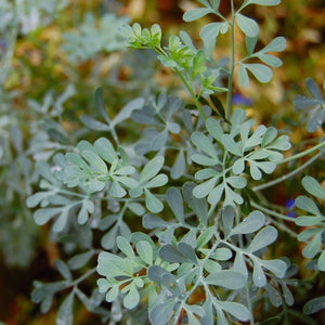 Herb seed - Rue, Common : Beautiful landscape plant with medicinal properties.