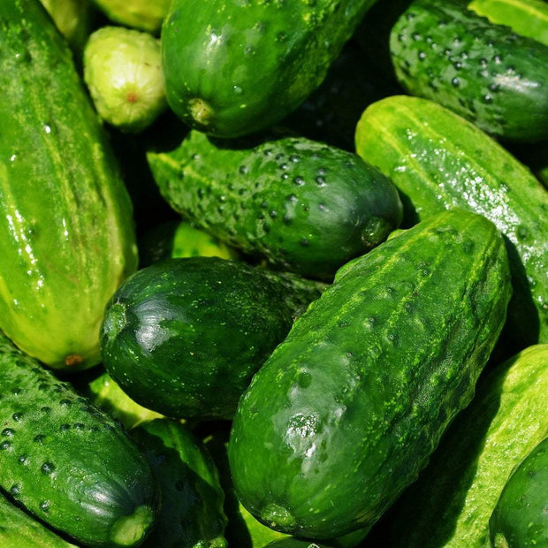 Pickling Cucumber - Boston - Sow True Seed