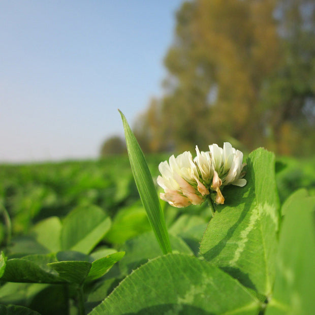 Cover Crop - Dutch White Clover - Sow True Seed